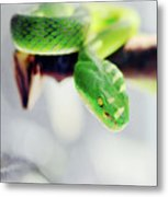Closeup Of Poisonous Green Snake With Yellow Eyes - Vogels Pit Viper  Metal Print