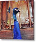Closeup Portrait Of A Peacock Peafowl Metal Print