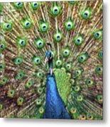 Closeup Portrait Of An Indian Peacock Displaying Its Plumage Metal Print