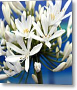 Closeup White Californian Flower Metal Print
