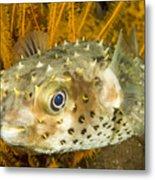 Closeupf Of A Yellowspotted Burrfish Metal Print by Tim Laman
