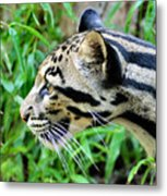 Clouded Leopard In The Grass Metal Print