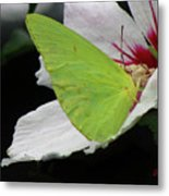 Cloudless Giant Sulphur Butterfly  Metal Print