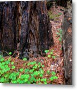 Clover And Redwood Metal Print