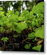 Clover In Montgomery Woods State Natural Reserve Metal Print