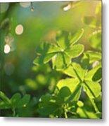 Clover Leaf In Garden, Macro Metal Print