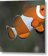 Clown Anemonefish (amphiprion Ocellaris) Metal Print by Steven Trainoff Ph.D.