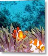 Clown Fishes Metal Print by Takau99