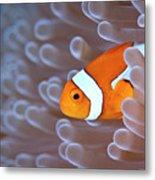 Clownfish In White Anemone Metal Print