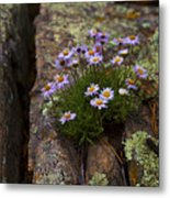 Clump Of Asters Metal Print