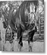 Clydesdale Metal Print