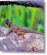 Coast Range Fence Lizard Metal Print