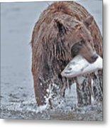 Coastal Brown Bear With Salmon  Metal Print