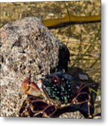 Coastal Crab Metal Print