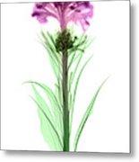 Cockscombs Flower, X-ray Metal Print