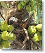 Coconuts Metal Print