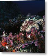 Cocos Island Octopus Hiding On Reef Metal Print