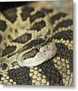 Coiled Rattlesnake Metal Print