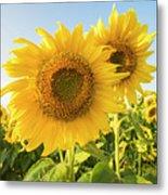 Colby Farms Sunflower Field Closeup Metal Print
