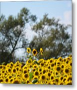 Colby Farms Sunflower Field Newbury Ma Standing Tall Metal Print
