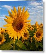 Colby Farms Sunflower Field Newbury Ma Sunrise Metal Print
