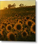 Colby Farms Sunflower Field Newbury Ma Sunset Metal Print