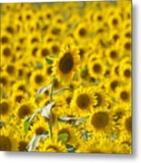 Colby Farms Sunflower Field Newbury Ma Metal Print