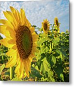 Colby Farms Sunflower Field Side Metal Print