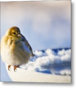 Cold American Goldfinch Metal Print