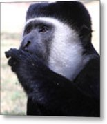 Colobus Monkey Metal Print