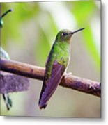 Colombian Hummingbird Metal Print