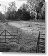 Colonial Sheep In Pasture Metal Print