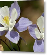 Colorado Columbine #1 Metal Print