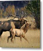 Colorado Elk  Metal Print