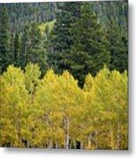 Colorado Golden Aspens Metal Print
