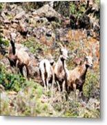 Colorado Mountain Sheep Metal Print