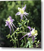 Colorado State Flower Metal Print