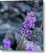 Colorado Wildflower Metal Print