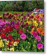 Colorful Dahlias In Garden Metal Print