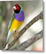 Colorful Gouldian Finch Metal Print