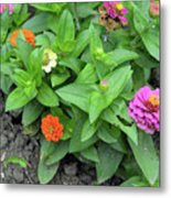 Colorful Pink And Orange Flowers In Green Leaves Bush In The Garden. Metal Print