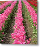 Colorful Rows Of Tulips Metal Print