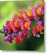 Colorful Snapdragon Metal Print