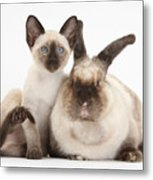 Colorpoint Rabbit And Siamese Kitten Metal Print