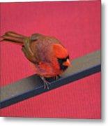 Colour Me Red - Northern Cardinal - Cardinalis Cardinalis Metal Print