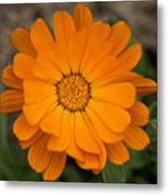 Colourful Orange Signet Marigold  Metal Print