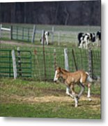 Colt Play With Hay Metal Print