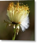 Coltsfoot Bad Hair Day 1 Metal Print