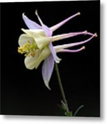 Columbine Metal Print by Barry Culling