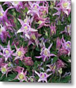 Columbine Splendor Metal Print